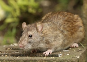rodent removal Portland OR