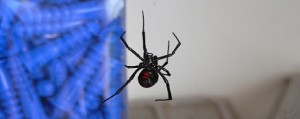 Black Widow Spider Removal in Portland