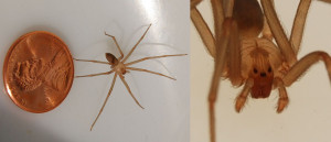 Brown Recluse Spider Removal in Portland