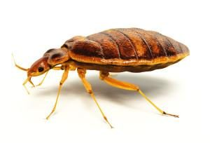 bed bug removal portland