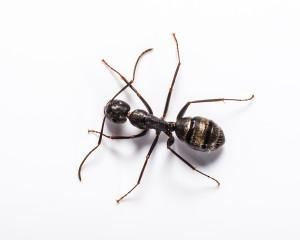 Carpenter Ant Removal Portland